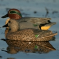 Greenhead Gear GHG Life Size Green Winged Teal (6шт)